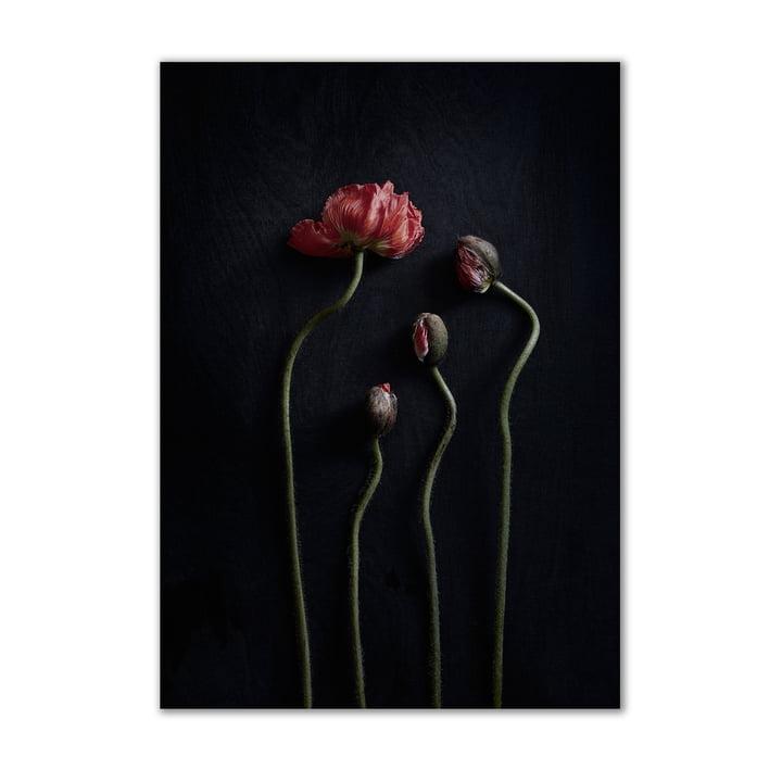 Stillleben 02 (Red Poppies) 50 x 70 cm von Paper Collective